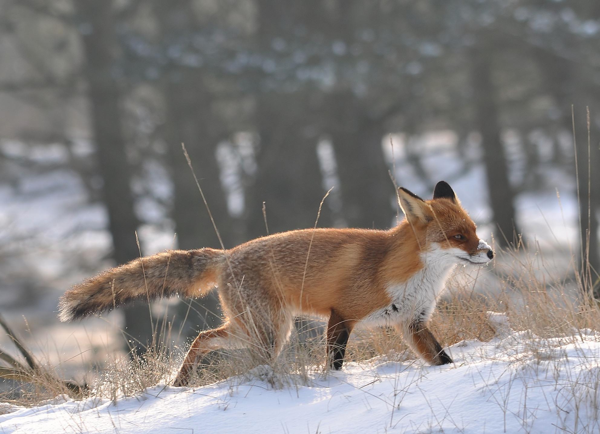 Winter.... - in het AWD - foto door pietsnoeier op 08-04-2021 - locatie: Vogelenzangseduinweg 2, 2114 AS Vogelenzang, Nederland - deze foto bevat: sneeuw, rode vos, carnivoor, vos, fawn, terrestrische dieren, hondenras, snuit, staart, natuurlijk landschap