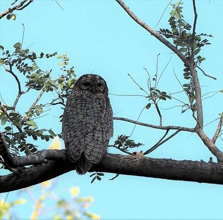Mijn  Reizen  - En dit weer een ander soort uil   die ik ook mooi heb kunnen spotten   hij zat zo rustig op de deze tak  met zijn rug naar mij toe en de kop  helemaa - foto door Stumpf op 09-04-2021 - deze foto bevat: lucht, vogel, fabriek, takje, bek, boom, kofferbak, houtachtige plant, uil, falconiformes