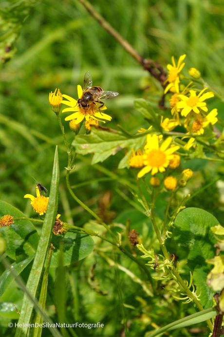 Bij haalt nectar