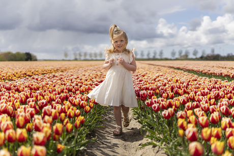 De hollandse tulp