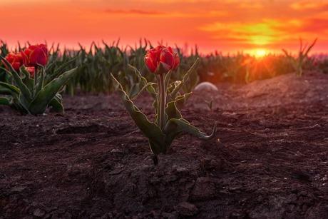 Zonsopkomst en tulpen