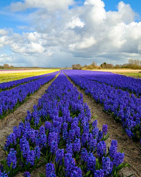 Blauwe hyacinten - Hyacintenveld bij Egmond aan de hoef - foto door dipo58kqpxqsypav op 16-04-2021 - locatie: 1934 Egmond aan den Hoef, Nederland - deze foto bevat: hyacintenveld, hyacinten, bollenvelden, hollandse luchten, blauw, zon, wolk, bloem, lucht, fabriek, ecoregio, blauw, natuurlijk landschap, mensen in de natuur, lavendel, landbouw
