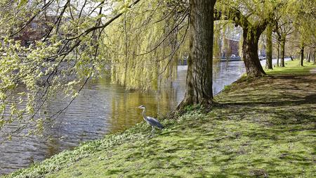 Werken aan het nest. - Amsterdam : Reiger heeft takje gepakt voor zijn nest. - foto door dutchal op 13-04-2021 - locatie: Westerpark, Amsterdam, Nederland - deze foto bevat: water, fabriek, boom, vogel, natuur, blad, natuurlijk landschap, afdeling, hout, kofferbak