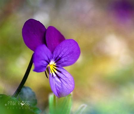 Geef kleur! - Gezelligheid! 😁  Dank voor de reacties bij de vorige upload, blij mee!  - foto door PinkRosePictures op 11-04-2021 - locatie: Groeneveld 2, 3744 ML Baarn, Nederland - deze foto bevat: viool, paars, macro, natuur, blij, gezelligheid, bloem, fabriek, bloemblaadje, terrestrische plant, wild viooltje, gras, bloeiende plant, bodembedekker, magenta, eenjarige plant