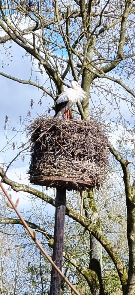 Ooievaar op het nest - Luid klepperend op het nest trof ik deze ooievaar aan.  - foto door MonaSu op 17-04-2021 - locatie: Alphen aan den Rijn, Nederland - deze foto bevat: lucht, vogelnest, vogel, afdeling, takje, boom, kofferbak, hout, nest, bek