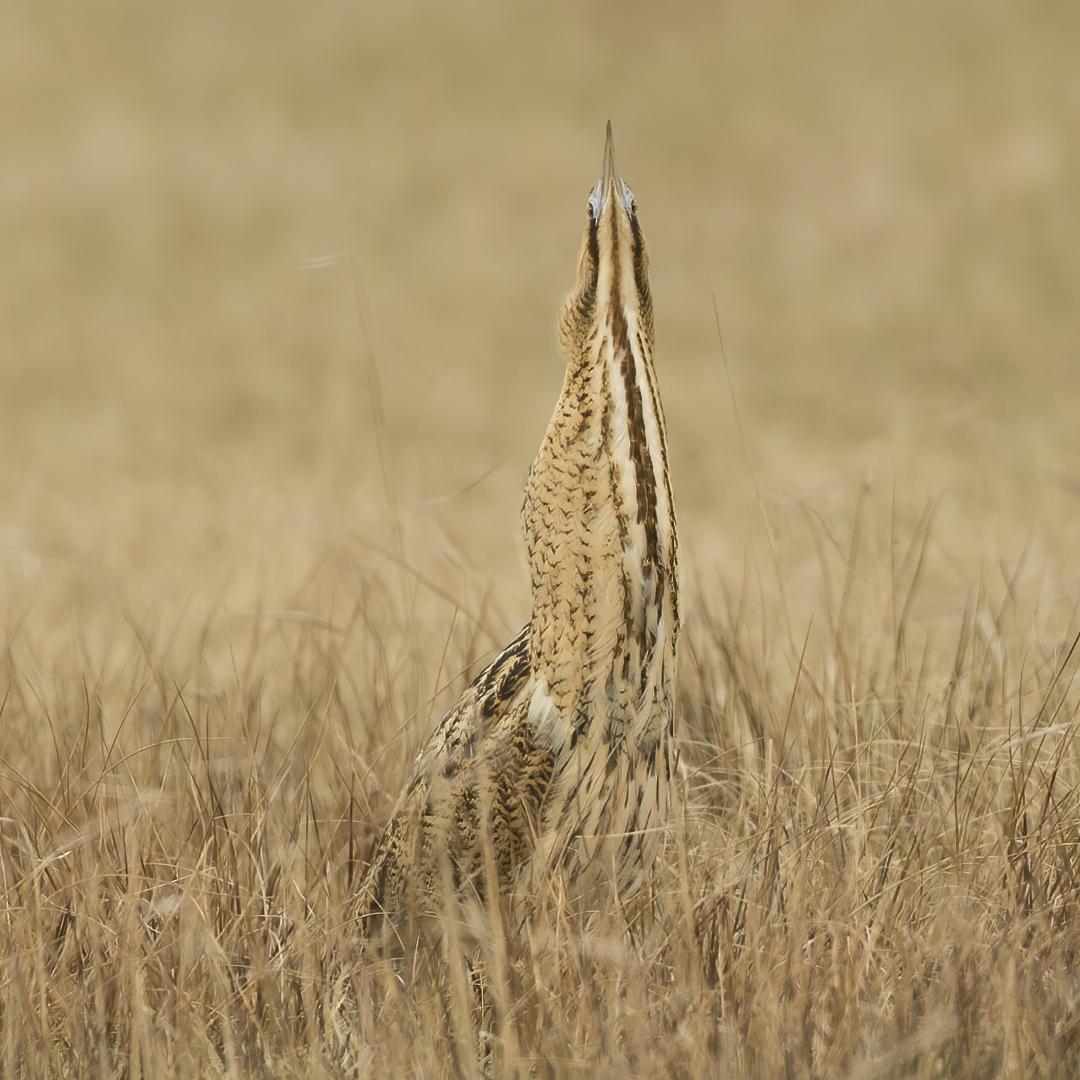 Ik ben er niet ... - Ik ben er niet  ...  ... ik ben een spriet en je ziet me niet... :-)  (Fryslan, 10-04-2021)  Botaurus stellaris - Reiddomp - Roerdomp - Bittern - Roh - foto door willemdewolf op 15-04-2021 - locatie: Friesland, Nederland - deze foto bevat: vogel, fabriek, bek, hout, terrestrische dieren, grasland, gras, grass familie, veer, landbouw