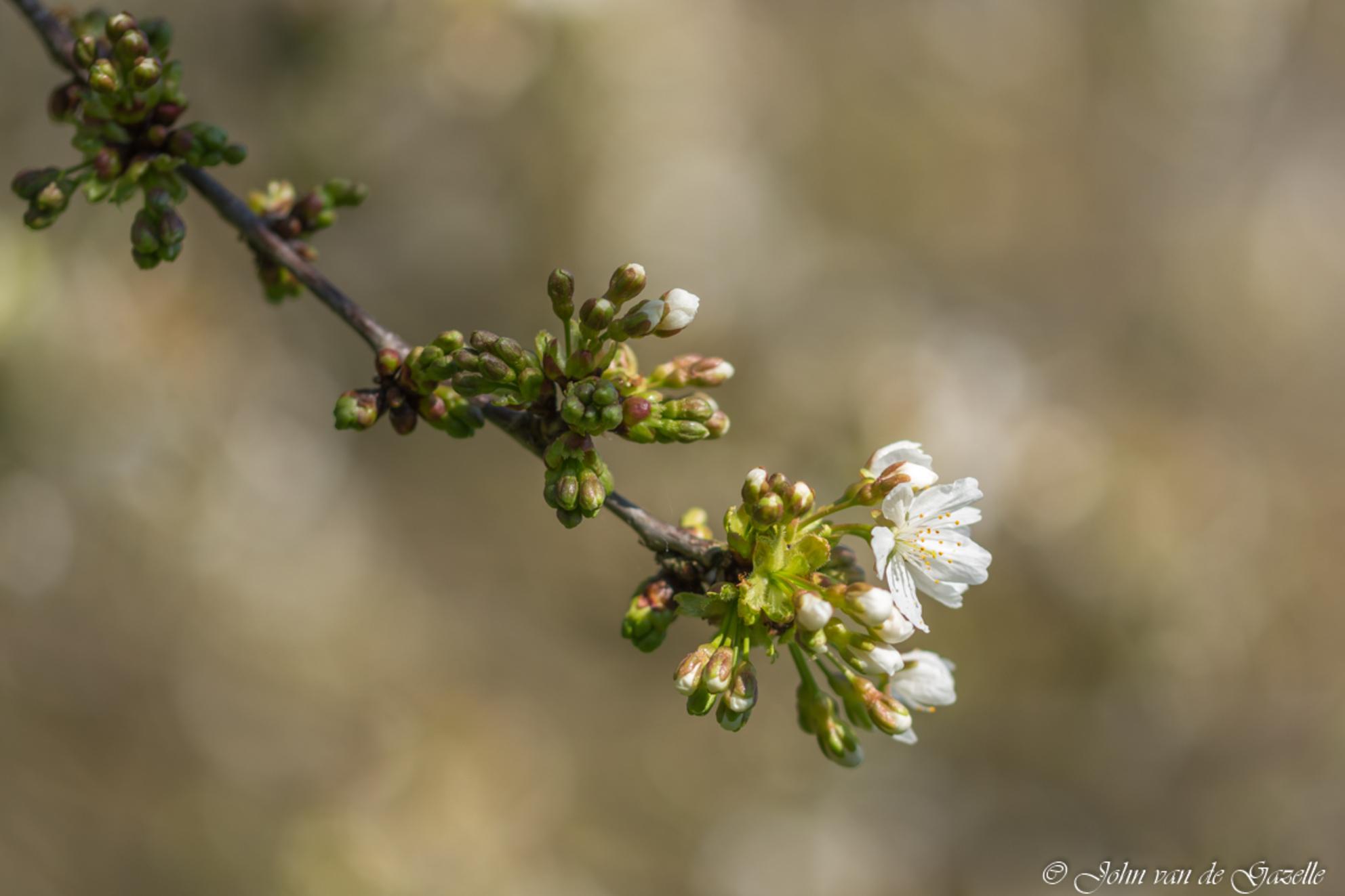 Lente bloesem met bokeh - Bloeiende bloesem in de lente. Deze opname heb ik in natuur gebied De Doort te Echt. gemaakt.  Bedankt, voor jullie fijne reacties. Groet, John. - foto door JvandeGazelle op 08-04-2021 - deze foto bevat: john van de gazelle, echt,, de doort, werk aan de muur, bloesem, fruitboom, lente, bokeh, dof, wit, sfeervol, macro, fotografie, natuur, natuurfotografie, close-up, wadm, zoom.nl, voorjaar, vrolijk, fabriek, bloem, afdeling, takje, bloemblaadje, bloeiende plant, boom, terrestrische plant, onderstruik, bloesem