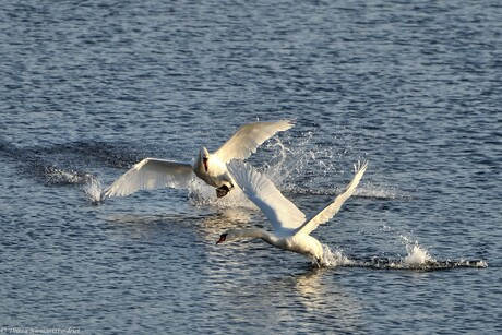 Swan Chase