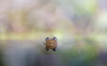 Het is lente, zouden de dames op komen dagen?? - Uren heeft dit manneke op de vrouwtjes liggen wachten. Nou ik kan je verklappen dat het een feest is geworden, zijn geduld is beloond. Het krioelde v - foto door h.meeuwes op 12-04-2021 - deze foto bevat: lente, vijver, kikker, meekijken, bokeh, kleur, reflectie, spiegeling, groot diafragma, amfibie, water, fabriek, geleedpotigen, natuurlijk landschap, insect, hout, takje, gras, landschap, vloeistof