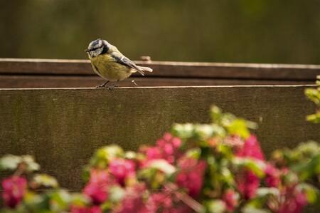 Spijkerpoepen - Deze pimpelmees heeft een eigen draai gegeven aan het oud-hollandse spijkerpoepen.  Alle zoomers, zoomvrienden en -volgers, bedankt voor de waarderin - foto door PaulvanVliet op 07-04-2021 - deze foto bevat: pimpelmees, mees, tuin, bloemen, schutting, geel, blauw, zwart, roze, groen, spijker, vogel, bloem, vogel, fabriek, bek, bloemblaadje, vegetatie, gras, hout, veer, landschap