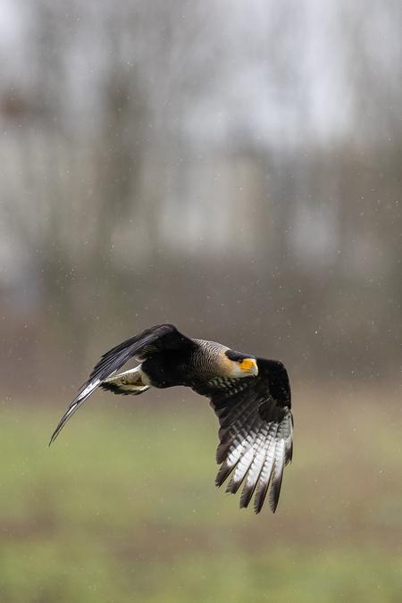 Roofvogel in de regen - Roofvogel op roofvogelboerderij in Lansingerland  - foto door fonsmm_zoom op 10-04-2021 - locatie: Lansingerland, Nederland - deze foto bevat: vogel, accipitridae, bek, valk, falconiformes, adelaar, zee arend, amerikaanse zeearend, accipitriformes, veer