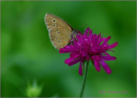 Ook Vlinders vlinderen  door de tuin