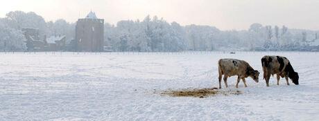 Koeien in de sneeuw