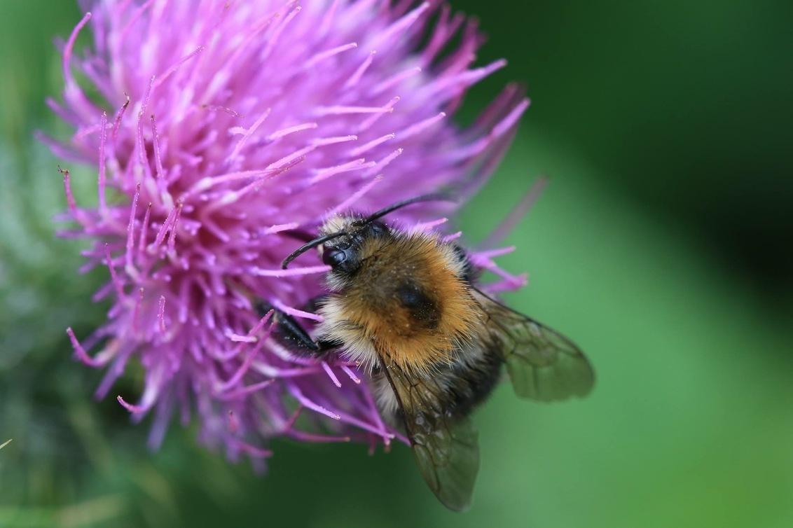 Bee on Flower - Made in Denmark - foto door VosL op 19-05-2019