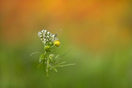 orange - vanochtend heerlijk doorgebracht tussen de oranje tipjes in een prachtige om geving..wat is dat genieten - foto door dylano op 03-05-2021 - deze foto bevat: oranje..vlinder bloe, bloem natuur, fabriek, bloem, terrestrische plant, kruidachtige plant, gras, bloeiende plant, eenjarige plant, macrofotografie, dieren in het wild, forb