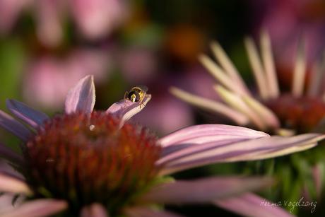 Echinacea ft zweefvlieg
