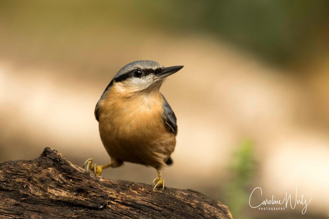 Boomklever - Boomklever - foto door Caroline Wirtz op 16-07-2017 - deze foto bevat: natuur, dieren, vogel, boomklever, wildlife