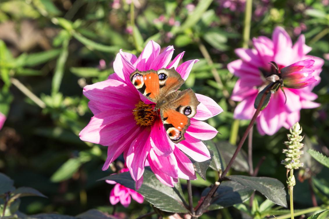 Dagpauwoog - Op 15 oktober gewandeld in de kasteeltuin van Kasteel Amerongen. - foto door voorhalven op 30-10-2017 - deze foto bevat: bloem, vlinder