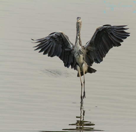 The heron is landing