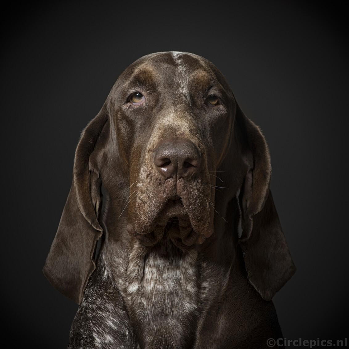 Karakter portret - Een karakterstudie van onze Lola. Of eigenlijk was het een beetje rommelen met een nieuwe flitsopstelling in de woonkamerstudio en Lola was toevallig - foto door weimaraan op 22-11-2017 - deze foto bevat: portret, dieren, huisdier, hond, nikon, jachthond, flitsfotografie, hondenportret, studiofotografie, strobist, strobistfotografie, karakterportret, Bracco Italiano, speedights