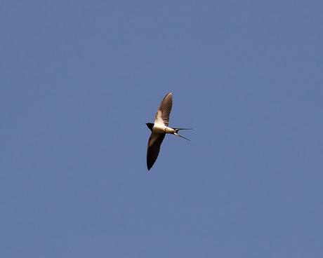 Zwaluw in vlucht