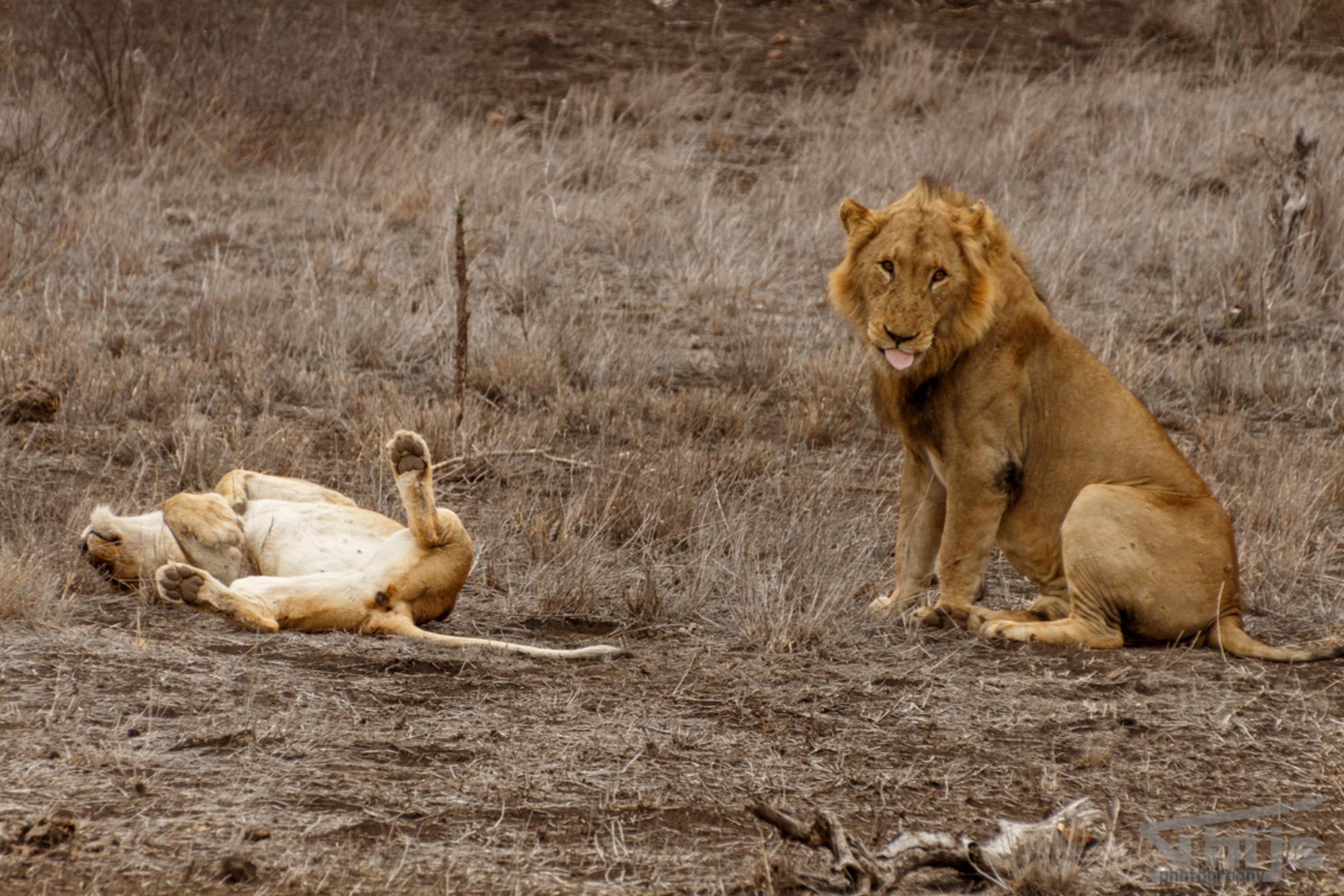 King - - - foto door thijsdegroot op 26-02-2017 - deze foto bevat: natuur, dieren, safari, leeuw, afrika, wildlife - Deze foto mag gebruikt worden in een Zoom.nl publicatie