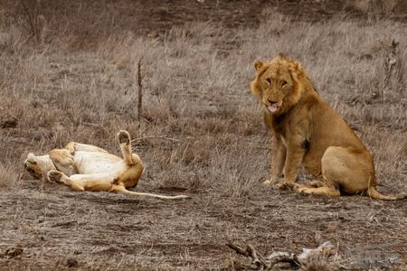 King - - - foto door thijsdegroot op 26-02-2017 - deze foto bevat: natuur, dieren, safari, leeuw, afrika, wildlife