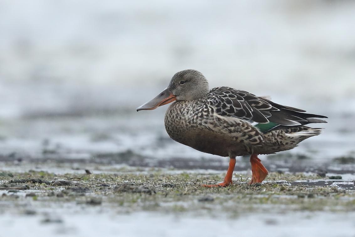slobeend - - - foto door jvriens op 24-02-2021 - deze foto bevat: dieren, vogel, eend, watervogel
