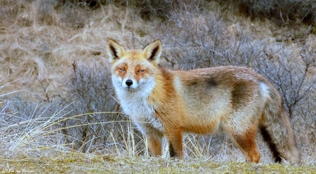 """Ben ik in beeld..?? - Enigszins verbaast maar zeker niet bang bleef deze vos hier voor mij staan te poseren. Zijn ogen keken me aan met een blik of hij zeggen wou """" Ben ik - foto door Redfox16 op 04-03-2018 - deze foto bevat: natuur, dieren, vos, awd, wildlife"""