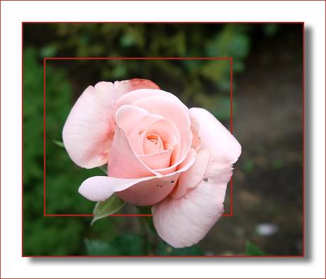 Roze roos...