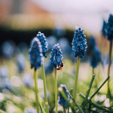 Blauwe Druif - Vliegend insect op blauwe druif.     ©MotionMan 2020 - foto door motionman op 27-04-2020 - deze foto bevat: blauw, glas, plant, bloem, lente, wesp, natuur, blauwe, bij, lens, tuin, insect, vintage, bloei, druif, nectar, genieten, honing, scherptediepte, honingbij, zonnig, dof, vierkant, blauwedruif, quarantaine, biotar, 2020, bolplant