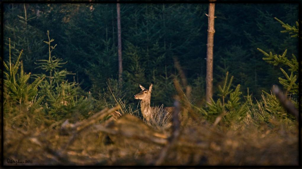 de verkenner - Zondagmorgen zag ik voor me deze hinde de begroeiing uitkomen, op het moment dat ik haar zag lopen, ben ik gelijk stil blijven staan dekking zoeken d - foto door wildspotter op 28-04-2010 - deze foto bevat: edelhert, hinde, herten, leihinde