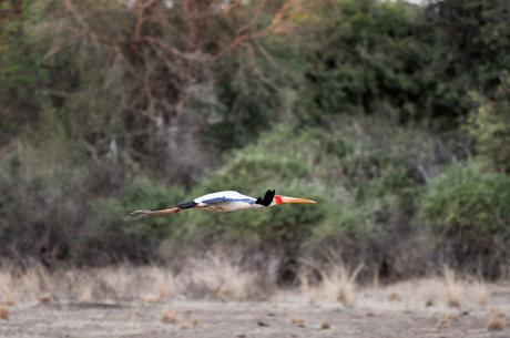 Afrikaanse Nimmerzat bevroren in zijn vlucht