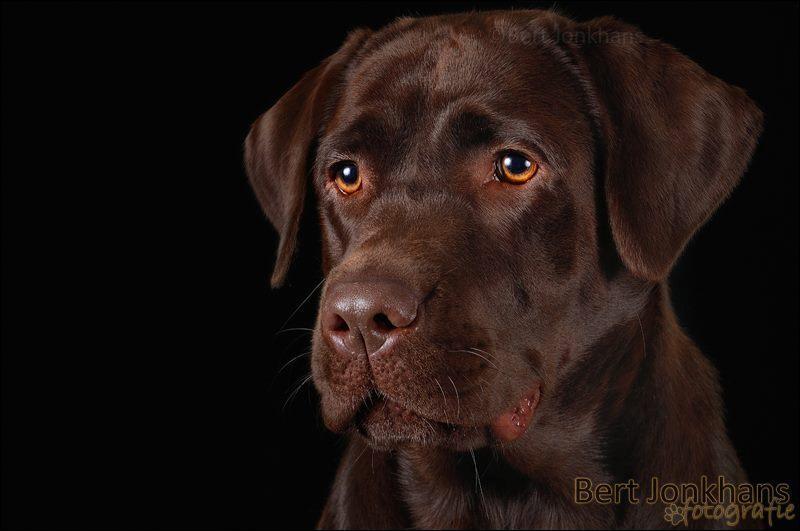 Beautiful frown - Deze bruine labrador had een prachtige frons en een mooie expressieve kop! - foto door bjonkhans op 22-09-2013 - deze foto bevat: portret, zwart, hond, honden, labrador, studio, frons, huisdierenfotografie, bjonkhans, hondenfotografie, Frown, bert jonkhans, bruine labrador, chocolate lab, labradorfotograaf