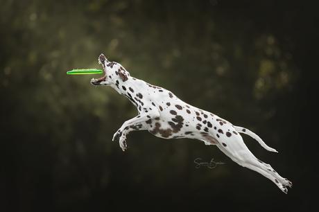 Dalmatiër in actie