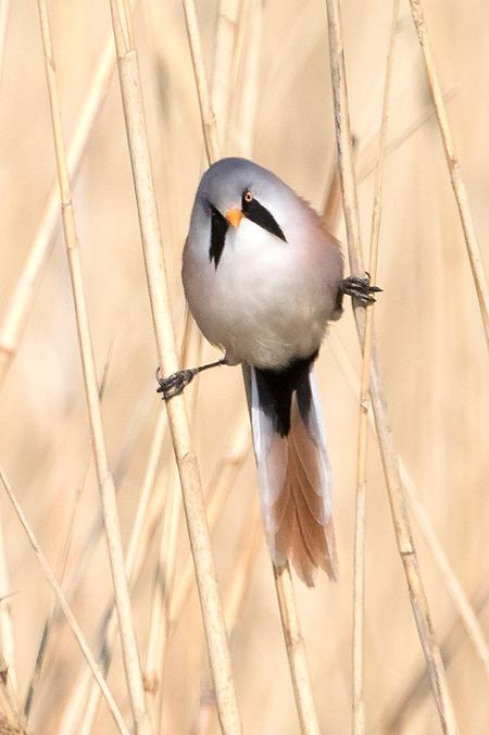 Kleine Acrobaat! - Wat zijn het toch prachtige en acrobatische vogels de Baardmannetjes.  Iedereen een fijn weekend gewenst en bedankt voor de mooie commentaren op mi - foto door tom kruissink op 24-04-2020 - deze foto bevat: man, natuur, bruin, portret, vogel, voorjaar, dier, wildlife, baardmannetje, baardman, acrobaat, april, zangvogel, rietvogel, close-up