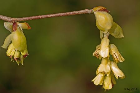 voorjaar - Genieten van alles wat in de natuur uitloopt. - foto door Ivy op 16-03-2014 - deze foto bevat: knoppen, voorjaar, ivy