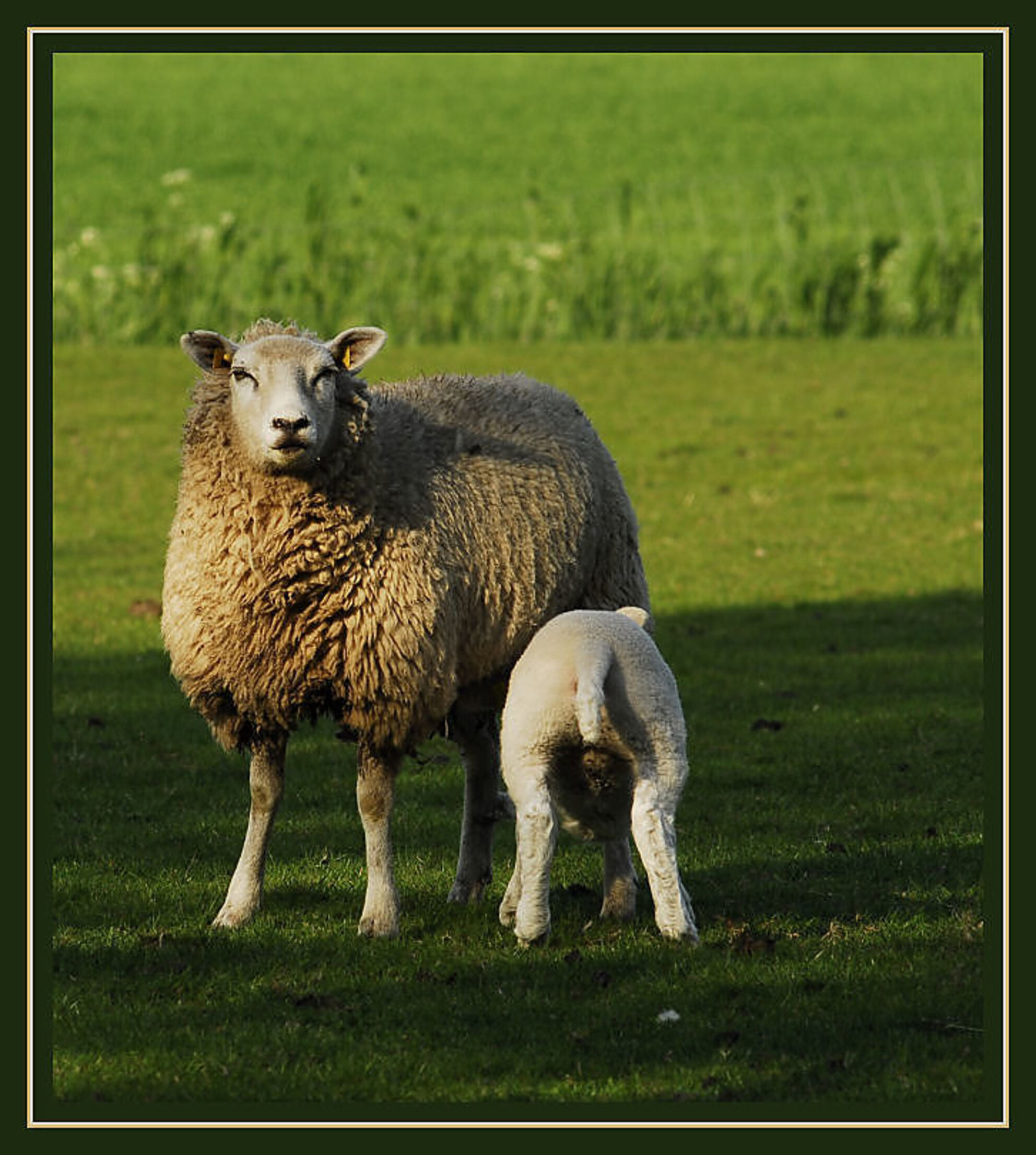 Moeder met pompend lam - Het is maar een gewoon plaatje maar ik vind het nog steeds mooi die pompende lammeren bij hun moeder aan de uier dat gaat niet zachtzinnig.En allemaa - foto door Thomas_zoom op 29-04-2007 - deze foto bevat: met, schaap, moeder, lam