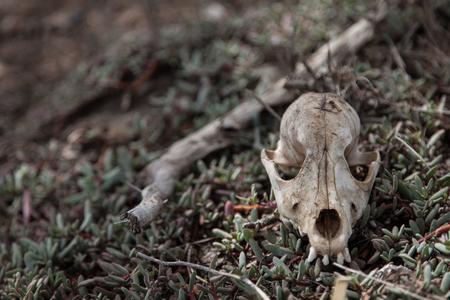 De schedel - Op Curacao, langs een klein meertje, vond ik deze schedel. Vooral apart vond ik de 4 tandjes vooraan. Dit dier had blijkbaar een goede tandarts. - foto door marcelvdbor op 13-02-2014 - deze foto bevat: dieren, curacao, schedel