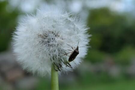 Wants aan pluizenbol - Bedankt allen voor de reactie's....  gr jenny.. - foto door jenny42 op 28-06-2019 - deze foto bevat: groen, bloem, natuur, wants, dieren, nederland, pluizenbol, wit.