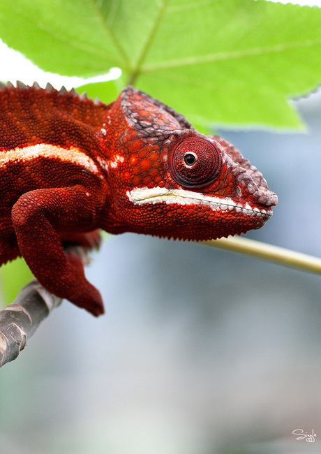 Rode Kameleon