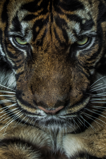 Serious face - Een blik kan genoeg zijn, in dit geval spreekt het boekdelen. - foto door Bianca Schmidt op 12-04-2021 - deze foto bevat: tijger, boos, ikzieje, wildlife, dierentuin, roofdier, kat, hoofd, gewervelde, felidae, carnivoor, tijger, organisme, zoogdier, grote katten, bakkebaarden, fawn