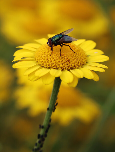 Vlieg op gele ganzenbloem
