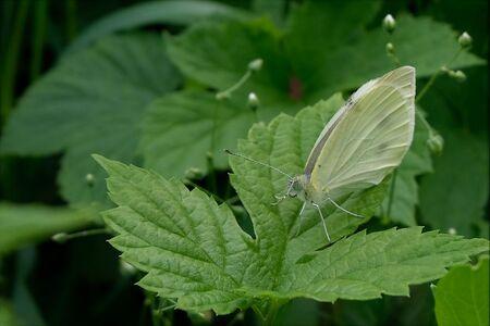 Groot witje - Allen bedankt voor de reactie's en wacht dit weer af.   gr jenny.. - foto door jenny42 op 11-06-2018 - deze foto bevat: groen, natuur, vlinder, groot, blad, dieren, oog, koolwitje, sprieten, meppel.