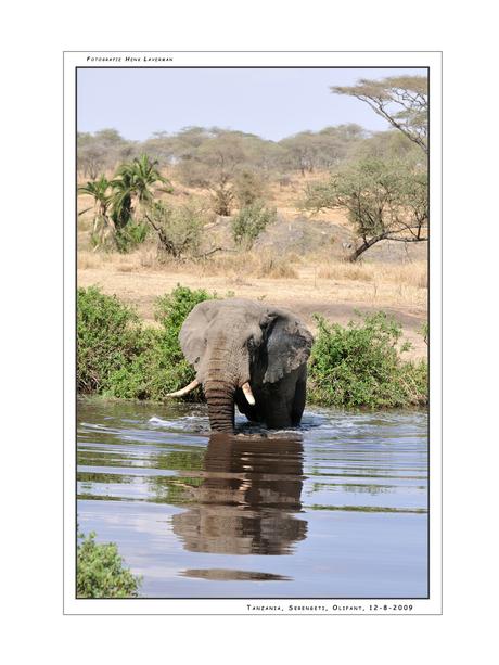 Elephant Serengeti NP II