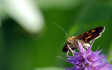 Piepklein vlindertje