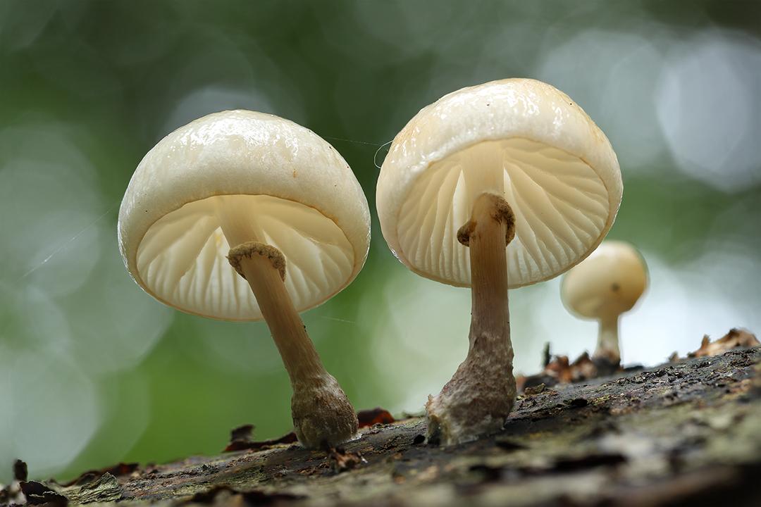 Porseleinzwammen - Porseleinzwammen in het Waterloopbos. - foto door ErikV74 op 06-10-2020 - deze foto bevat: macro, wit, natuur, bruin, licht, paddestoel, herfst, dauw, dof, bokeh