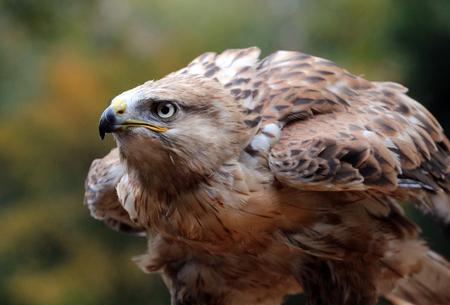 Focus op scherp - - - foto door itsabirdlife op 19-10-2019 - deze foto bevat: herfst, bos, buizerd, roofvogel, buteo, arendbuizerd