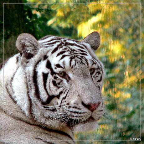 Portret witte tijger