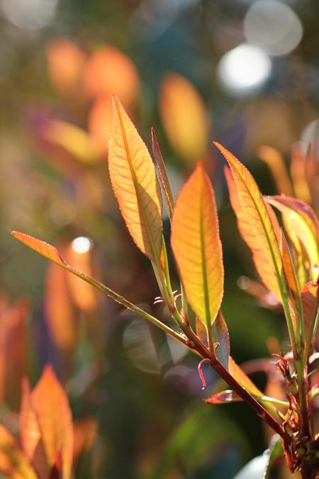 Photinia Red Robin - Door het tegenlicht zijn er allerlei prachtige kleuren ontstaan.  De struik doet dagelijks dienst als vogelhangplek... - foto door mares73 op 28-04-2013 - deze foto bevat: struik, voorjaar, bloei, photinia